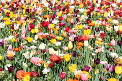 Poppies and Tulips 3 Stock Image