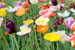 Poppies and Tulips 4 Stock Photography