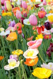 Poppies and Tulips 5 Royalty Free Stock Photography