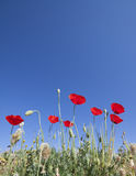 Poppies at Turkey Royalty Free Stock Photography
