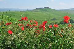 Poppies in Tuscany. Italy Stock Image