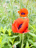 Poppies. Two red poppies among a green grass Stock Images
