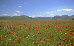 Poppies in a uncultivated grass field in Pian Grande near Castelluccio di Norcia, Umbria, Italy royalty free stock images