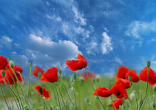 Poppies under blue sky Stock Photos