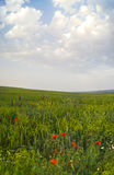 Poppies under blue sky Stock Images