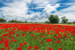 Poppies on a very windy day. Intentional blur to suggest the wind Royalty Free Stock Images