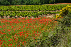 Poppies and Vineyards Royalty Free Stock Images