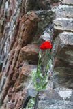 Poppies in the wall Stock Photography