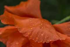 Poppies and water drops. Backlit poppies in nature, soft focus Royalty Free Stock Photos