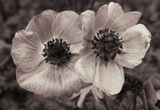 Poppies with water drops. In Sepia toned. Retro style Stock Photography