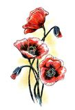 Poppies. Watercolor summer flowers Stock Images