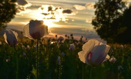 Poppies, West, Field Stock Photos