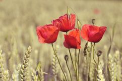 Poppies and whea Stock Photo