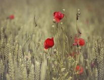 Poppies and whea Royalty Free Stock Photos