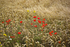 Poppies and wheat Royalty Free Stock Photography