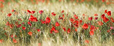 Poppies and wheat. Panoramic poppies in a wheat field Stock Image