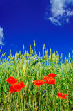 Poppies and wheat early by summer. Stock Image