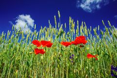 Poppies and wheat early by summertime. Stock Photo