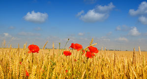 Poppies in wheat field. Wild red poppies in golden wheat field Stock Photography