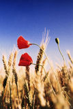 Poppies in a wheat field Stock Images