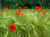 Poppies in wheat field. Fresh spring wheat field with red poppies growing among them with forest in the background. Focus on the front level of grain and the royalty free stock photo