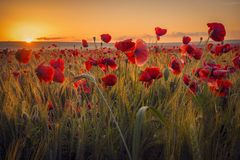Poppies in a wheat field. Beautiful poppies in a wheat field at sunrise with dewdrops royalty free stock photo