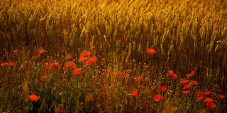 Poppies in a wheat field at dusk. A large number of bright red Poppies in front of a wheat field. This is taken late in the afternoon on a warm summers day in royalty free stock image