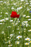 Poppies in wheat field Stock Image