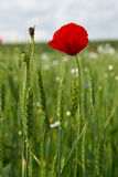 Poppies in wheat field Royalty Free Stock Image