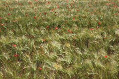 Poppies in a wheat field. Stock Images