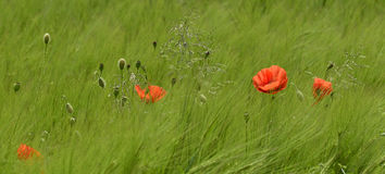 Poppies in Wheat Field Stock Photo