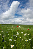 Poppies in wheat field Stock Images
