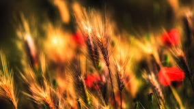 Poppies and wheat. Macro of poppies surrounded by wheat Royalty Free Stock Photography