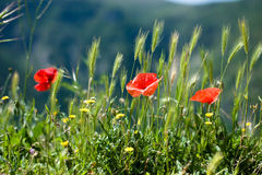 Poppies on meadow Stock Photo