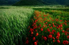 Poppies and wheat stock images