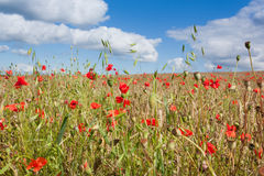 Poppies in a Wheatfield Stock Photo