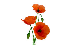 Poppies on white background. Isolated poppies on white background Stock Photo