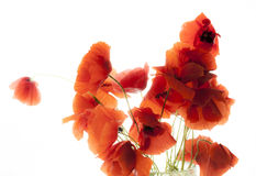 Poppies white bg Royalty Free Stock Image