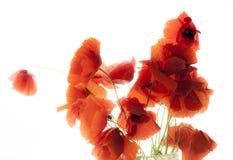 Poppies white bg Royalty Free Stock Image