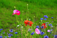 Poppies and wild flowers. Blue wildflowers and bees to poppies Royalty Free Stock Photo