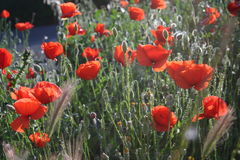 Poppies. Wild poppies line the roadside in rural Spain Royalty Free Stock Image