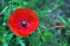 Poppies. Wild Wolf poppy flower in the field royalty free stock photos