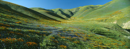Poppies and Wildflowers. California Poppies and Wildflowers, near Gorman, California stock images