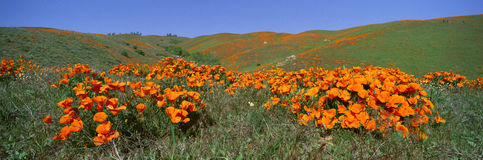 Poppies and Wildflowers, Antelope Valley, California Royalty Free Stock Image
