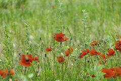 Poppies and wildflowers in a meadow Royalty Free Stock Images