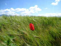 Poppies in the wind with mountains. Poppies in the wind with Hochries and Heuberg Royalty Free Stock Photography