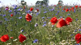 Poppies on a wind stock video footage