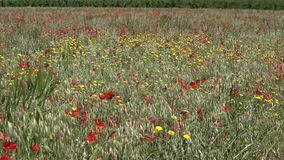 Poppies in the wind in the wheat field stock video footage