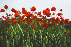 Poppies on a windy day Stock Image