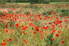 Poppies. Wonderful red flowers in a field of heath Stock Image